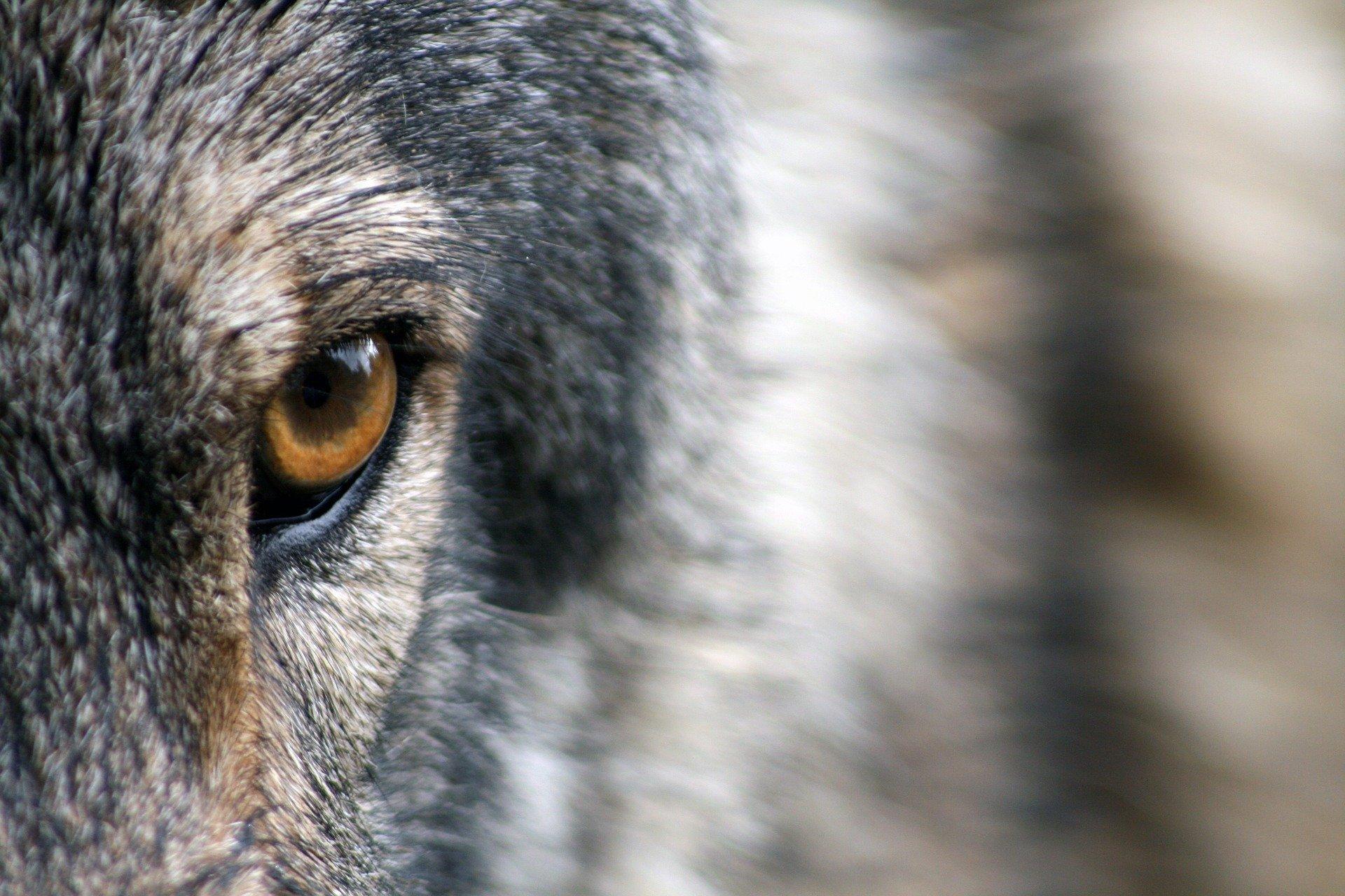 Волки – хищное социальное животное