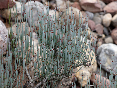 Эфедра промежуточная, средняя (Ephedra intermedia)