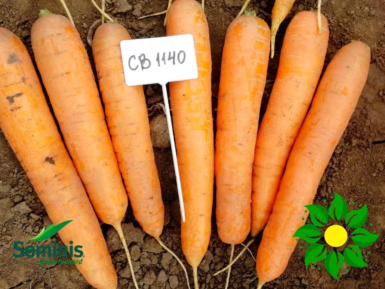 Новинка от бренда Seminis - отличная морковь СВ 1140.