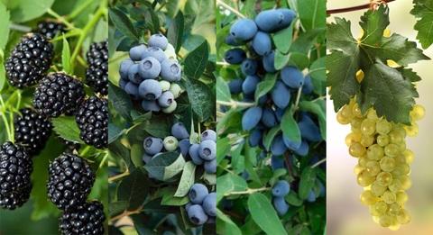 Ежевика, голубика, жимолость и виноград со скидкой!