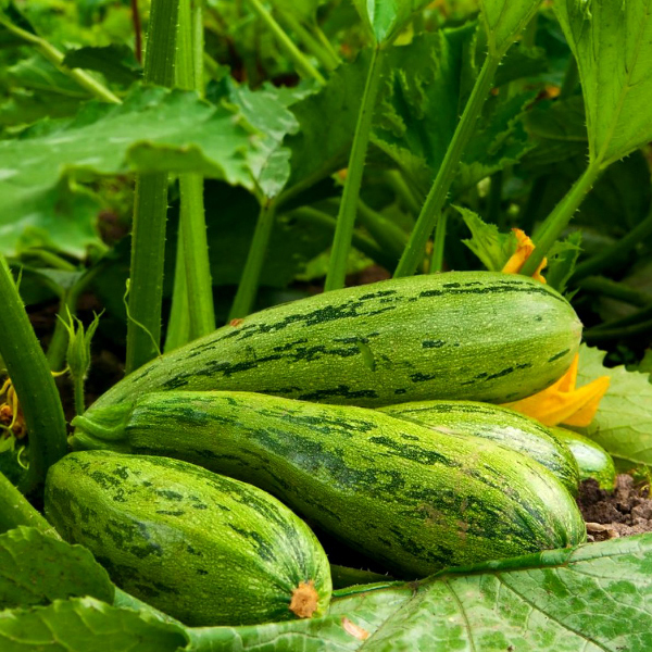 Технология выращивания кабачков