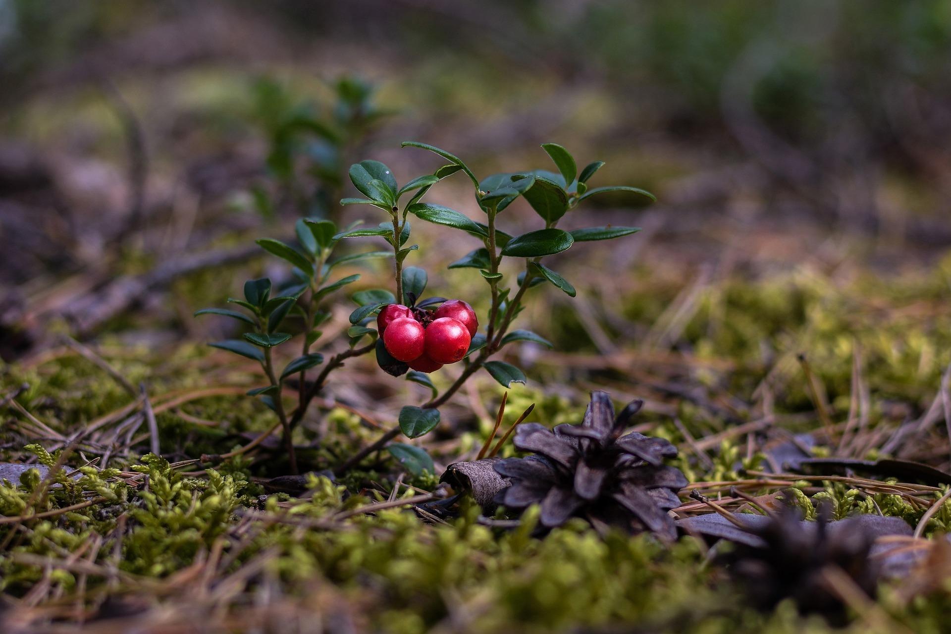 Клюква: источник витамина С. Где растет и как хранить