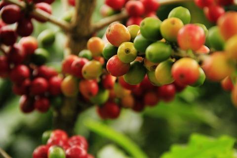 Лаурина или сможет ли сорт кофе с низким содержанием кофеина заменить кофе без кофеина?