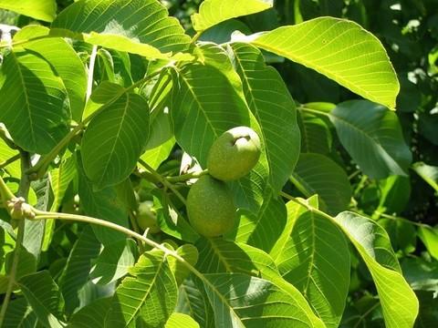 Грецкий орех листья лечебные свойства и противопоказания