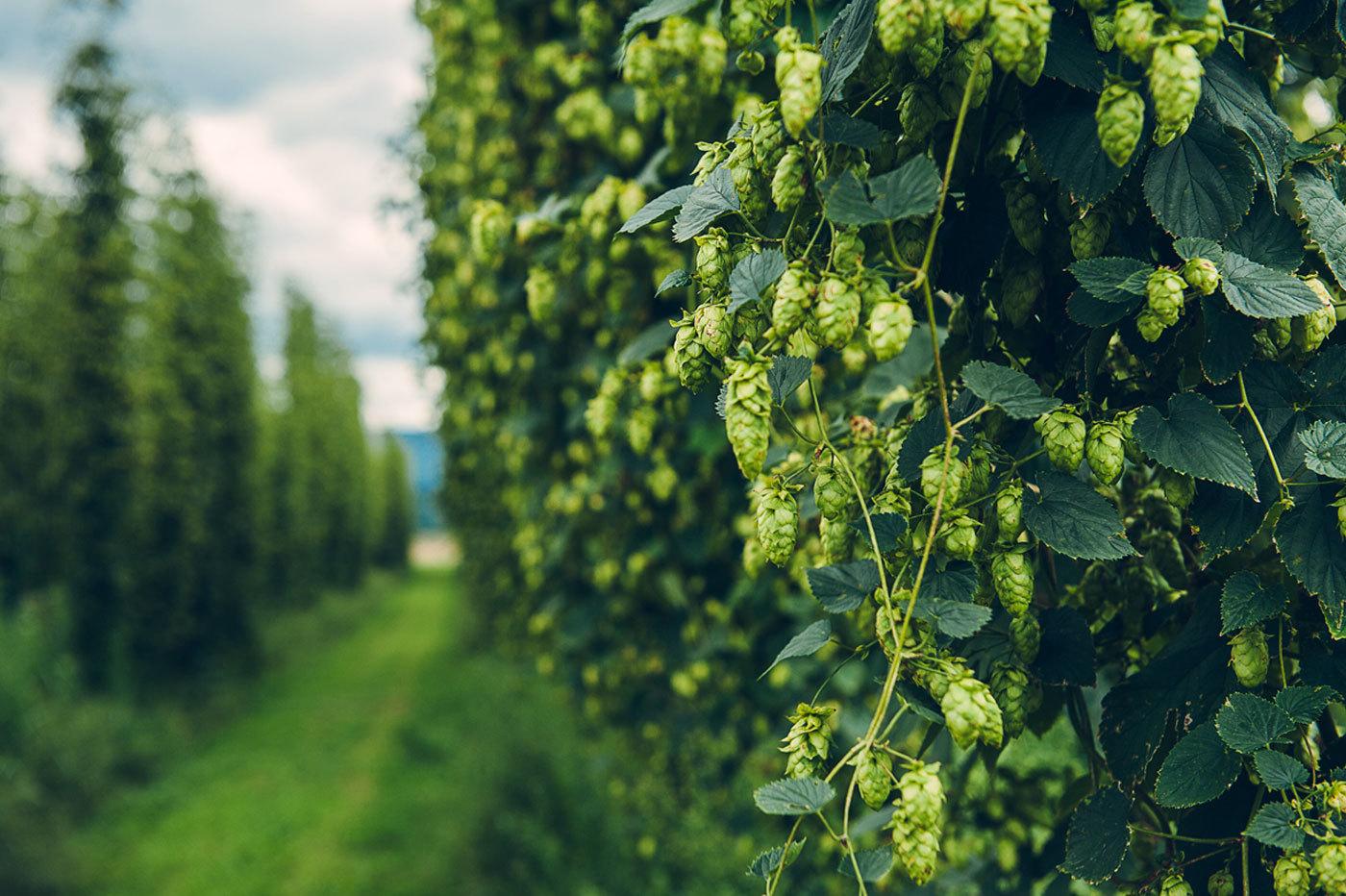 Пивоваренные ингредиенты:  хмель