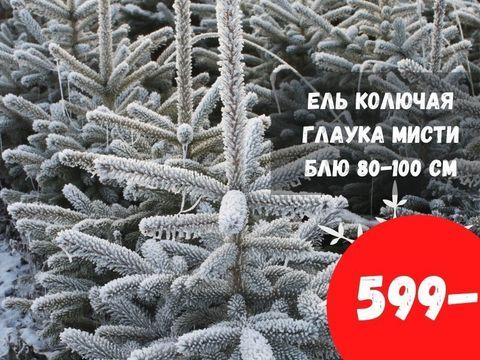Ель Глаука Мисти Блю за 599 рублей
