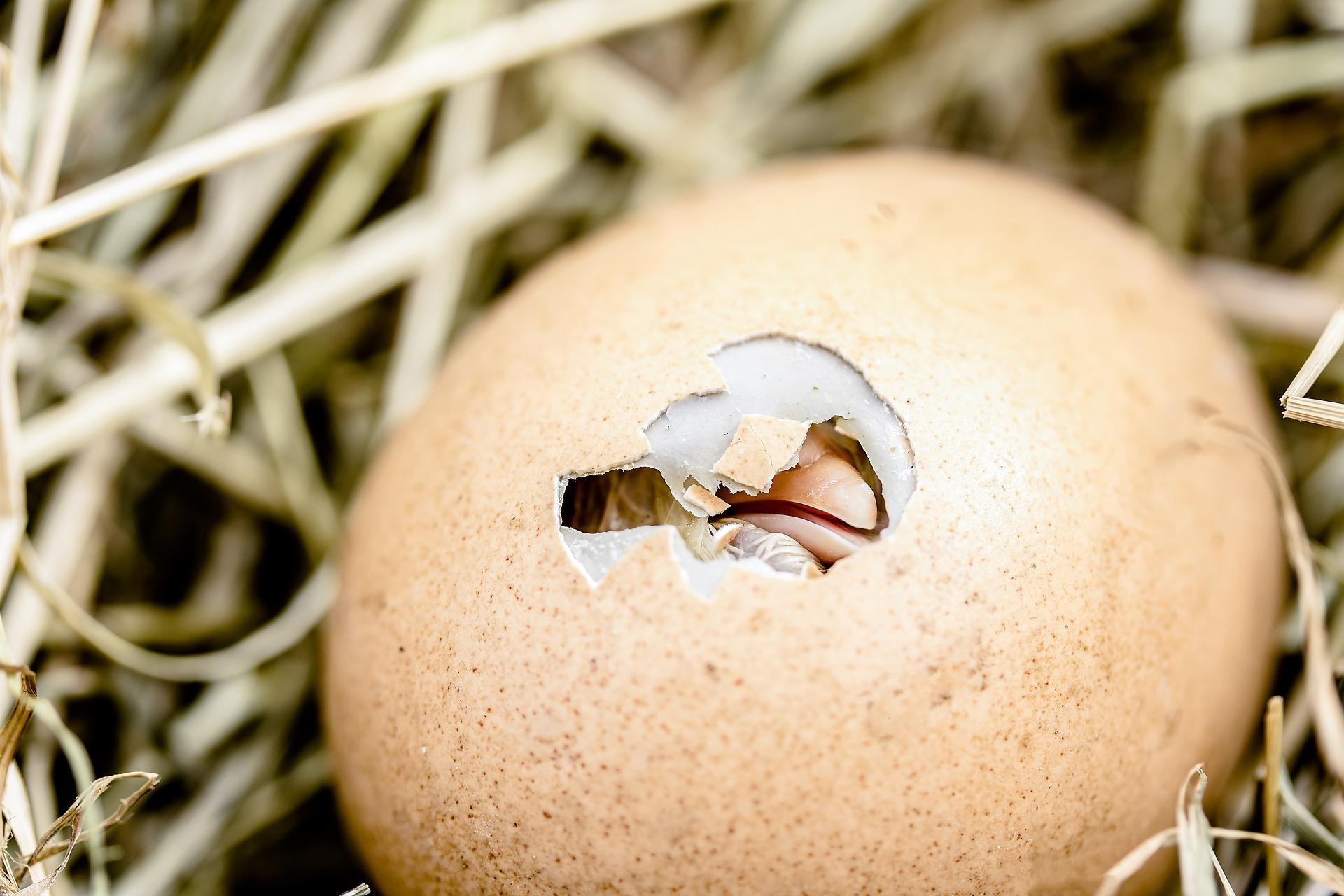Инкубационное яйцо, суточные цыплята 2019