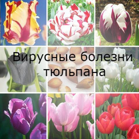 Вирусные болезни тюльпанов
