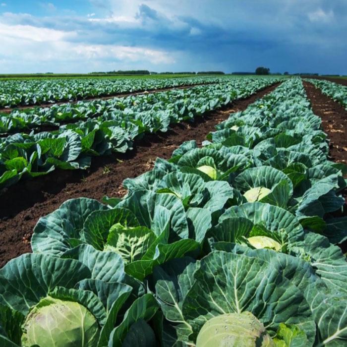 Новинки капустных культур от Rijk Zwaan