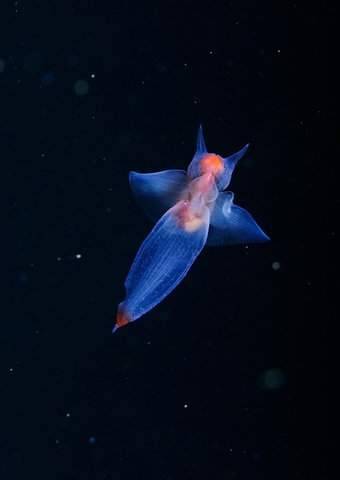 Удивительное животное: морской ангел