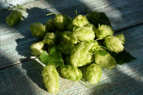 Хмель – любимый ингредиент современного крафтового пива
