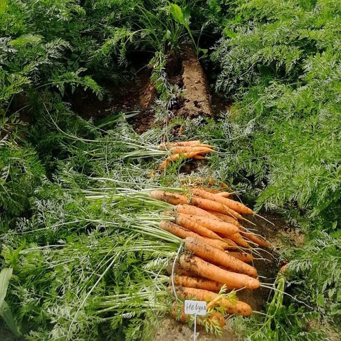 Топ 3 моркови от Seminis