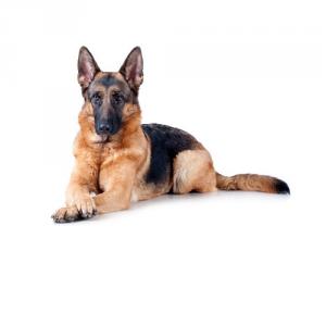 Royal Canin Maxi