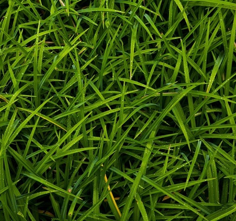 Газонные травы и сидераты