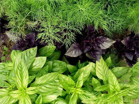 Пряные культуры и травы