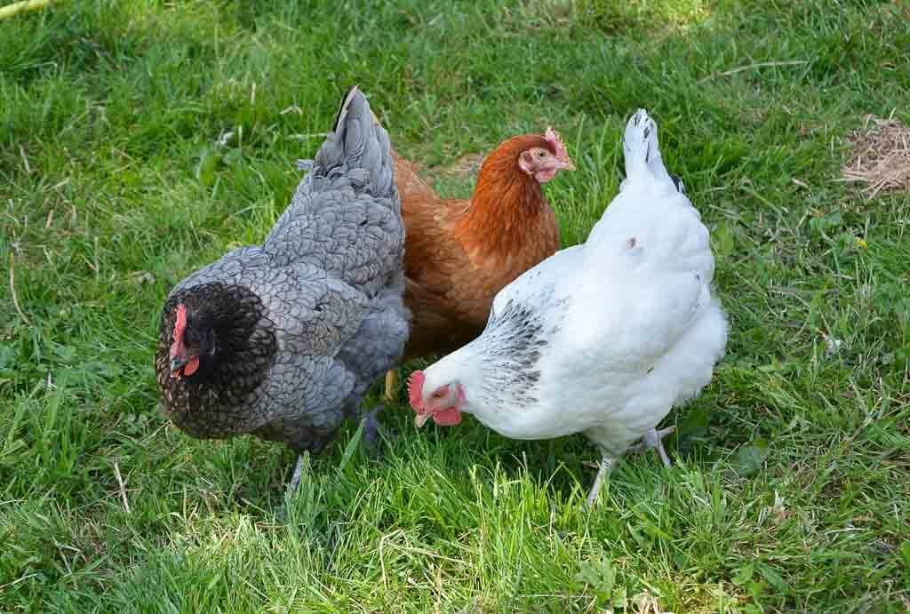 Для кур, цыплят, бройлеров