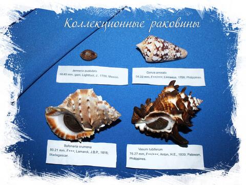 Коллекционные морские раковины