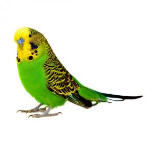 Корма для волнистых попугаев