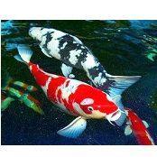 Корма для кои и прудоых рыб