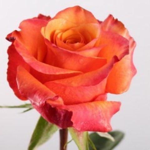 Роза чайно-гибридная Люмия