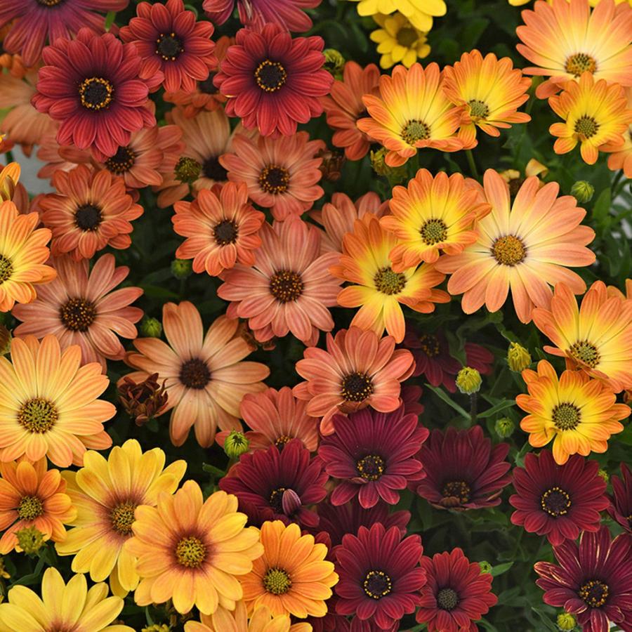 Семена цветов Семена цветов Остеоспермум Акилла Сансет Шейдес, PanAmerican Seed, 5 шт. SANSET-SEIDES.png