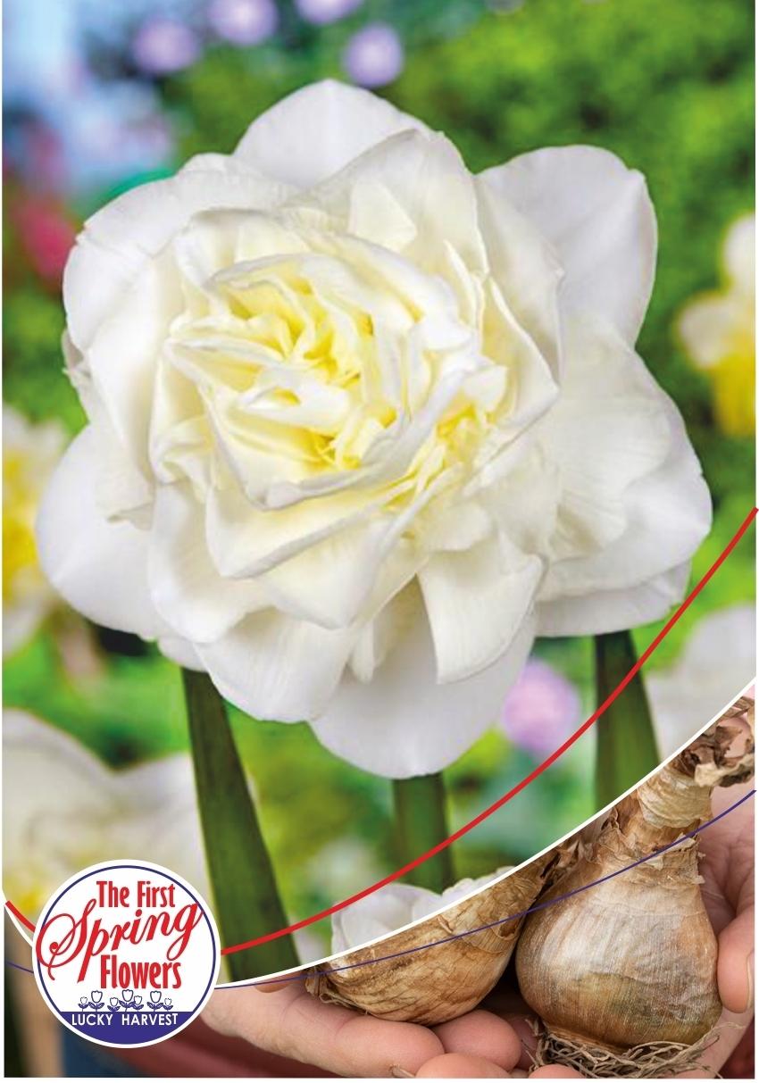 Луковицы Нарцисса махрового Obdam (Обдам) Jan de Wit en Zonen B.V. количество в упаковке 9 луковиц