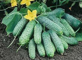 Огурец Пасамонте F1 семена огурца партенокарпического (Syngenta / Сингента) Пасамонте_F1_семена_овощей_оптом.jpg