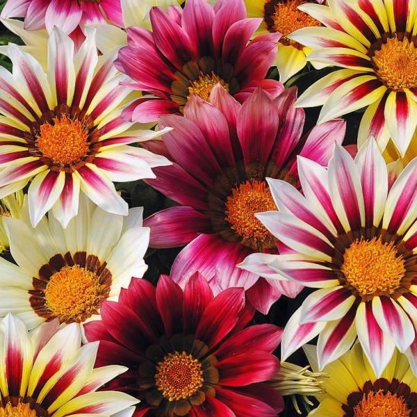 Семена цветов Семена цветов Газания Нью Дэй Стравберри Шорткейк микс , PanAmerican Seed, 10 шт. GAZANIY-NY-DEI-STRAVBERRI-SORTKEIK-MIKS.jpg