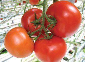 Томат Макарена F1 семена томата индетерминантного (Syngenta / Сингента) Макарена_F1_семена_овощей_оптом.jpg