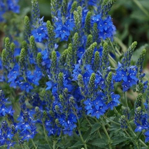 Вероника широколистная Royal Blue