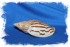 Ракушка Харпулина лороиси, Harpulina loroisi