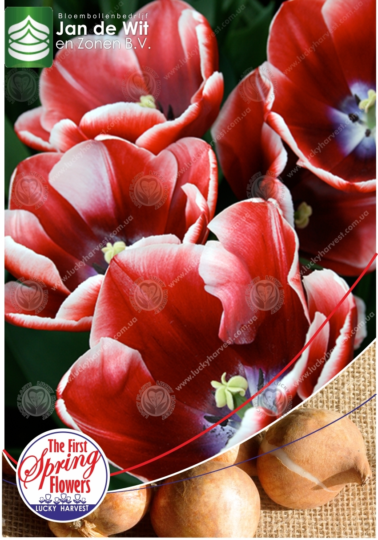 Луковицы  Тюльпана  Триумф