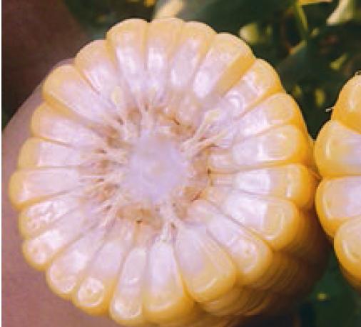 Кукуруза ГХ 5704 F1 семена кукурузы (Syngenta / Сингента) 5704.PNG