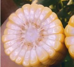 ГХ 5704 F1 семена кукурузы (Syngenta / Сингента)