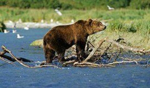 Картина раскраска по номерам 30x40 Медведь на берегу реки
