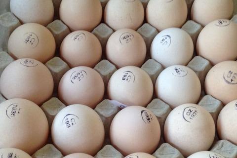 Инкубационное яйцо КОББ500 (Чехия, Испания), индюк, утка мулард (Франция), цветной бройлер SASSO (Франция) каждую последующую неделю