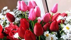 Тюльпан одиночный закрытый, 56 см, 1 шт.