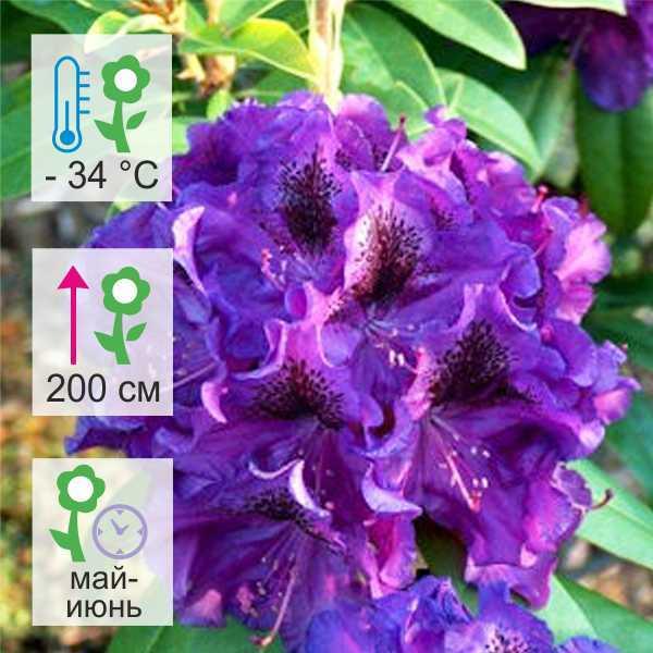 Рододендрон катевбинский Аззуро