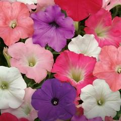 Семена цветов Петуния ампельная F1 Изи Вэйв Формула микс, PanAmerican Seed, 5 шт.