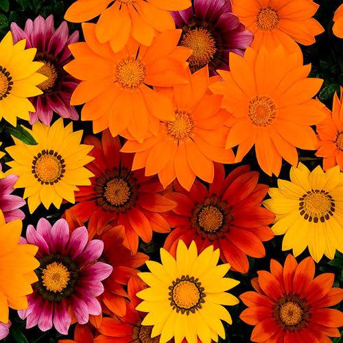 Семена цветов Семена цветов Газания Нью Дэй Брайт Микс, PanAmerican Seed, 10 шт. Газания-Нью-Дэй-Брайт-Микс.jpg