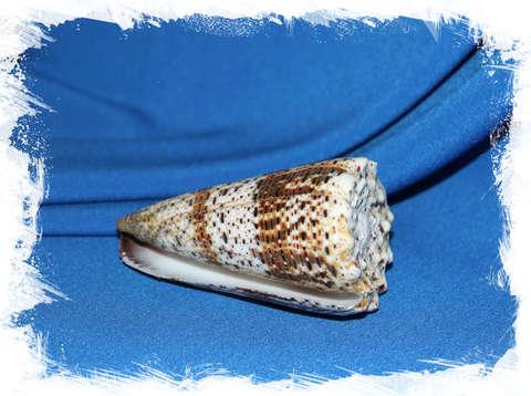 Конус империалис (Conus imperialis) 9 см.