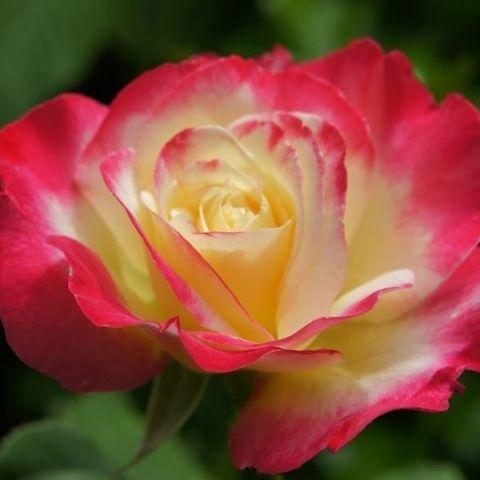 Роза чайно-гибридная Дабл Делайт С6