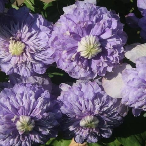 Клематис крупноцветковый Блю Лайт