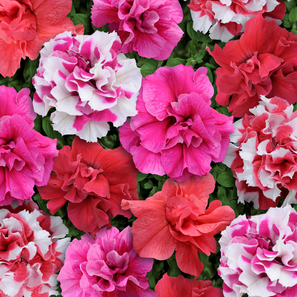 Семена цветов Семена цветов Петуния махровая многоцветковая Тарт Бонанза Микс, PanAmerican Seed, 10 шт. PETUNIY-MAKROVAY.jpg