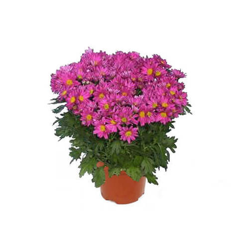 Хризантема Бриз розовая