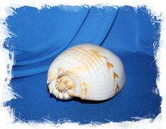 Морская ракушка  Мело амфора, Melo amphora