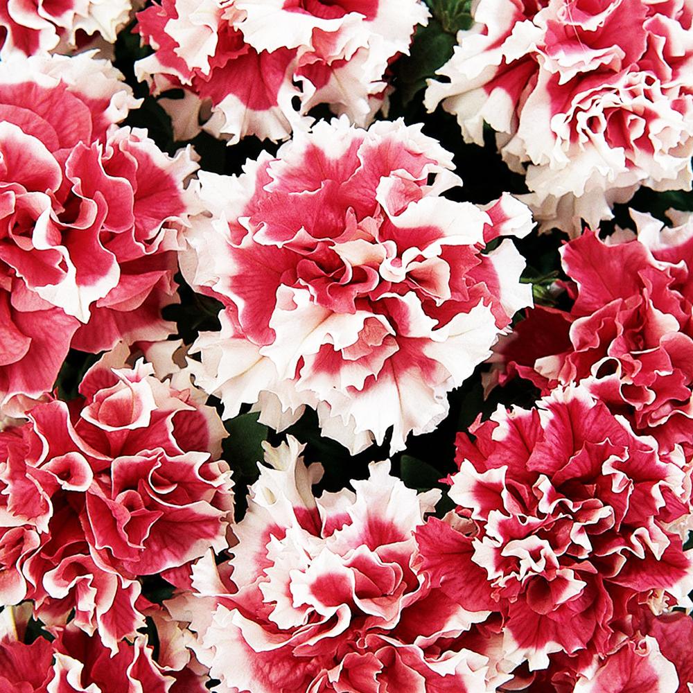 Семена цветов Семена цветов Петуния махровая Пируэтт Ред, PanAmerican Seed, 10 шт. PETUNIY-MAKROVAY-PIRUETT-RED.jpg