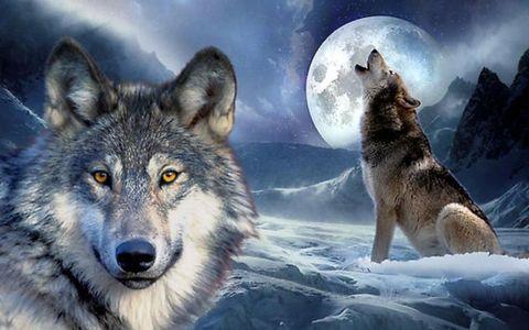 Картина раскраска по номерам 30x40 Два портрета волка