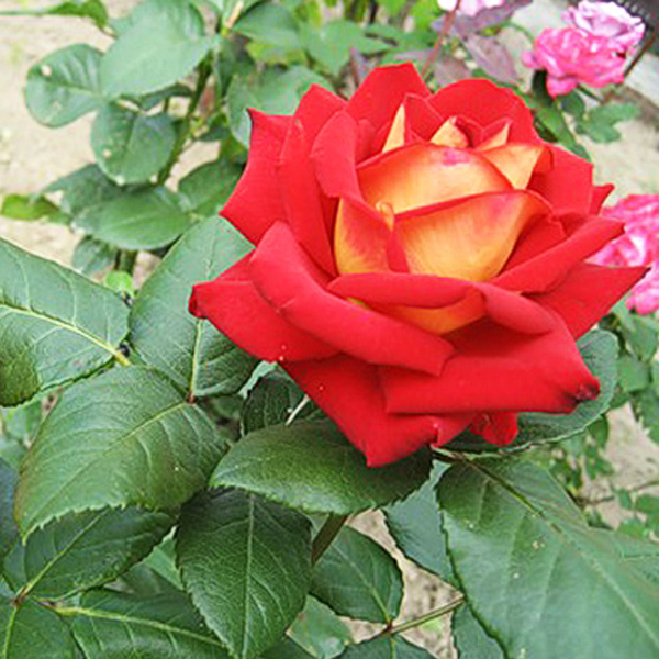 Роза  чайно-гибридная Нью Фэшн