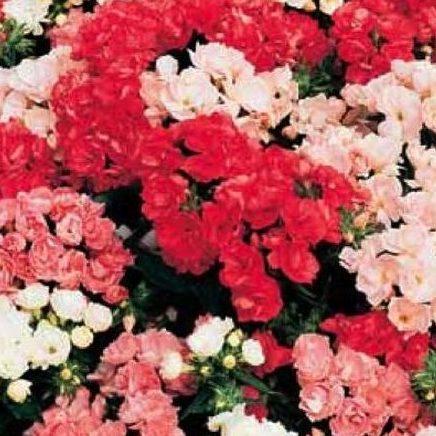 Семена цветов Семена цветов Флокс друммонди Промис Микс, PanAmerican Seed, 10 шт. FLOKS-DRUMMONDI-PROMIS-MIKS.jpg